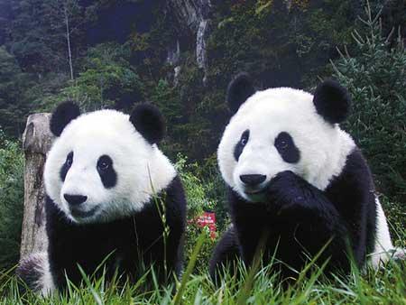 oso panda en peligro