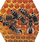 organización de las abejas