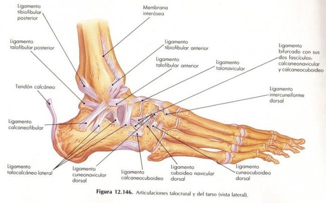 Musculos y huesos del tobillo