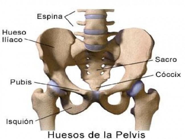 Cuáles son los huesos y músculos de la Pelvis | Neetescuela