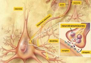 sinapsis1