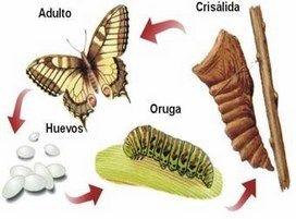 matamorfosis-mariposa