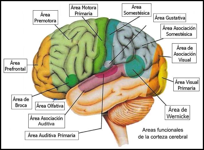 areas_funcionales_corteza_cerebral